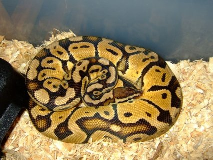 Re: Adult Pastel Ball Pythons