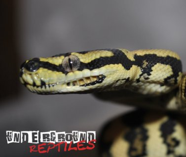 Baby Jungle Carpet Python For