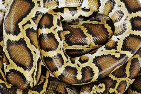 Burmese Python, Close Up
