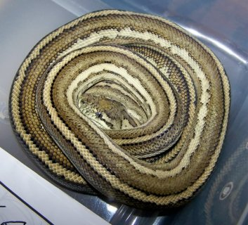 Carplot (Coastal Carpet Python