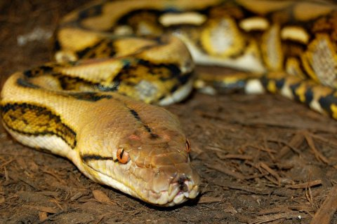 Tiger Reticulated Python by