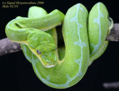 Common Name: Green Tree Python