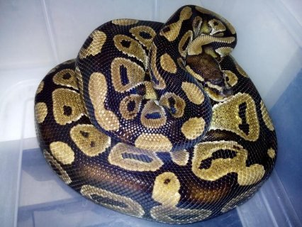 2x adult male ball pythons for