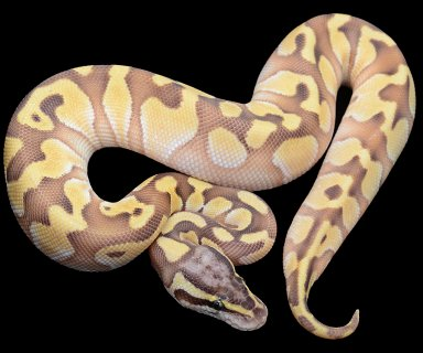 Enchi Butter Pastel Ball