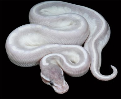 Phantom Mojave Ball Pythons