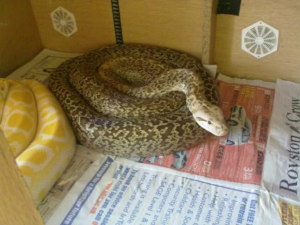 LATE 09 MALE GRANITE BURMESE