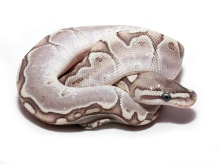 The Bamboo Ball Python is a