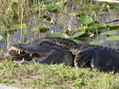 American alligator vs. Burmese python. © Lori Oberhofer/National Park Service