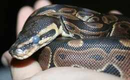 Ball python entering a shed.