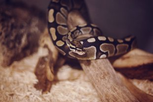 ball python pet ownership