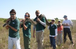 Burmese python captured in Everlades, Florida