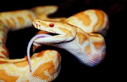 Captive Burmese pythons grow quickly when fed a steady diet of rodents.