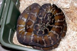 Irian Jaya carpet python on eggs
