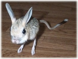 Jerboa, a food item prey for ball pythons in the wild