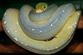 Large Sorong Green Tree Python Female
