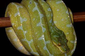 Manokwari Green Tree Python Female
