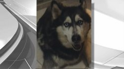 [MI] Rock Python Strangled Siberian Husky in Miami-Dade County, Florida Fish and Wildlife Conservation Commission Says