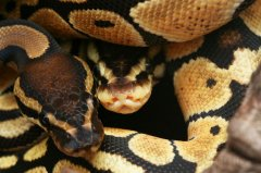 Normal ball python and pastel