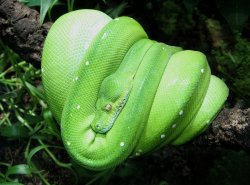 Picture of green tree python