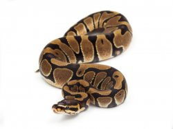 scaleless baby ball python