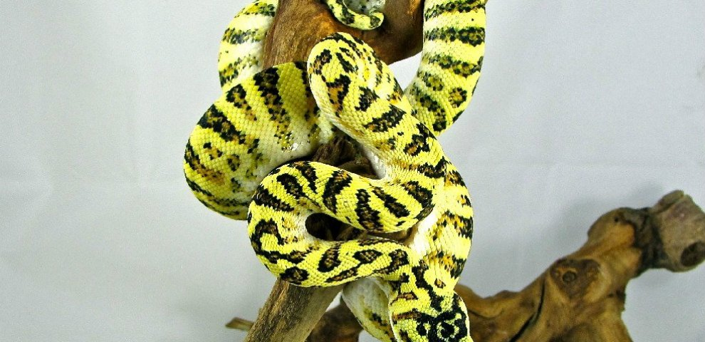 Breeding Carpet Pythons