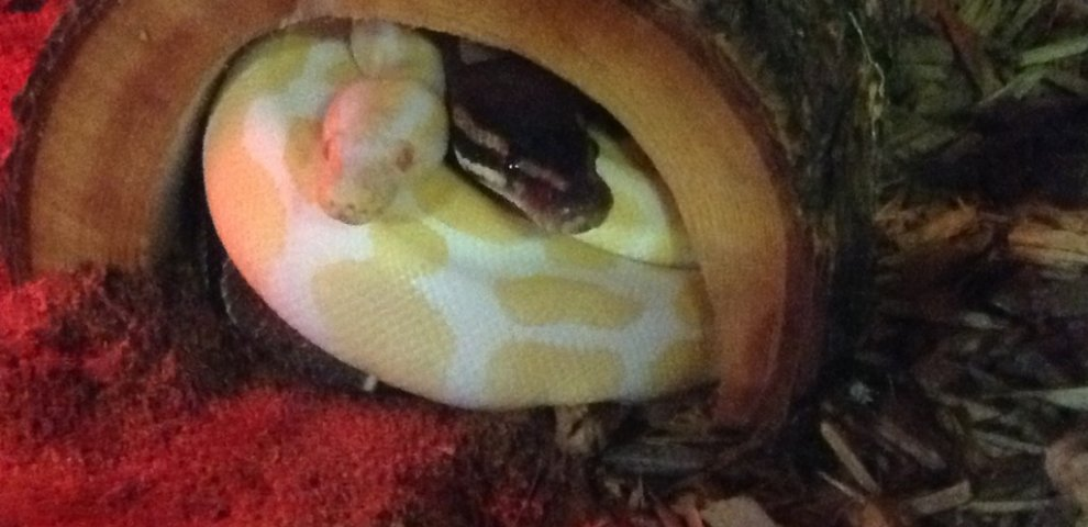 Caring for Ball Pythons