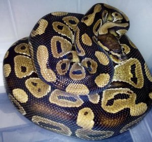 Adult Male Ball Pythons