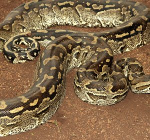 African Rock Python! Pictures
