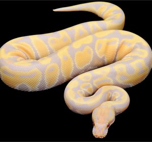 Albino Ball Pythons for sale Cheap