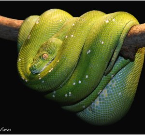 Are Ball Pythons nocturnal