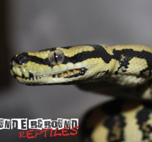 Baby Jungle Carpet Python for sale