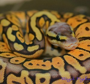 Ball Python gene calculator