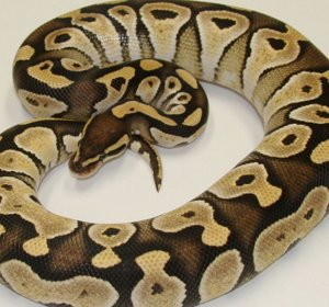 Ball Python growth rate