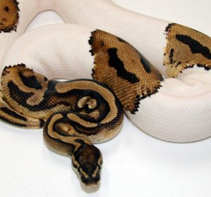 Ball python morphs for sale Cheap