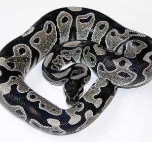 A guide to ball pythons