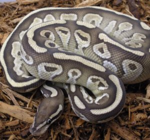 Ball Python pictures