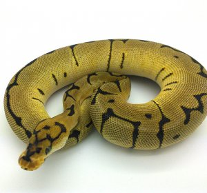 Ball Python temperature and humidity