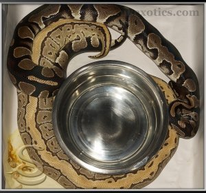 a guide to ball pythons Ball pythons (python regius) is one of the smaller species of python which originate from west africa this species of python has become one of the most popular snakes in the pet trade their reasonable size of 4-6 foot as adults is perfect for all levels of snake keepers.