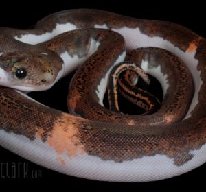 Breeding Reticulated Pythons