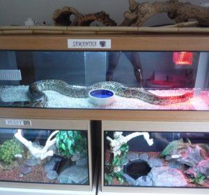 Burmese python Growth Rate