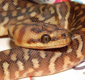 Carpet Python care