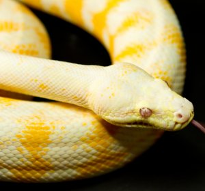 Carpet Python care Sheet