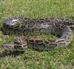 Facts about the Burmese python