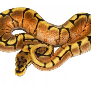 Female Spider Ball Pythons for sale