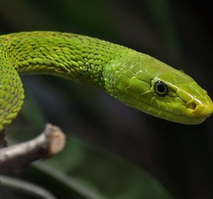 Green snake Facts