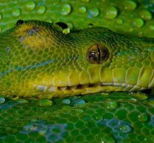 Green Tree Python Pictures