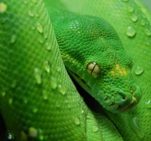 Green Tree Pythons for sale