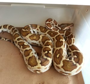 Indian Pythons