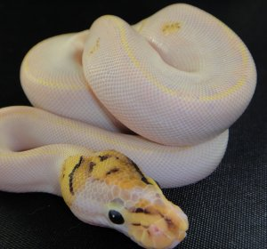 Ivory Ball Pythons for sale