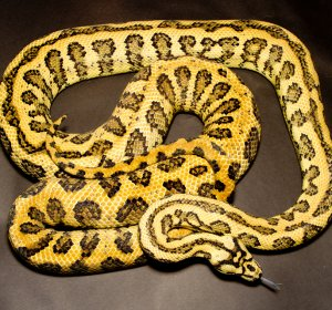 Jungle Jaguar Carpet Python for sale